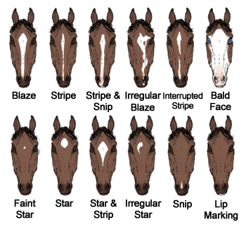 equine face markings